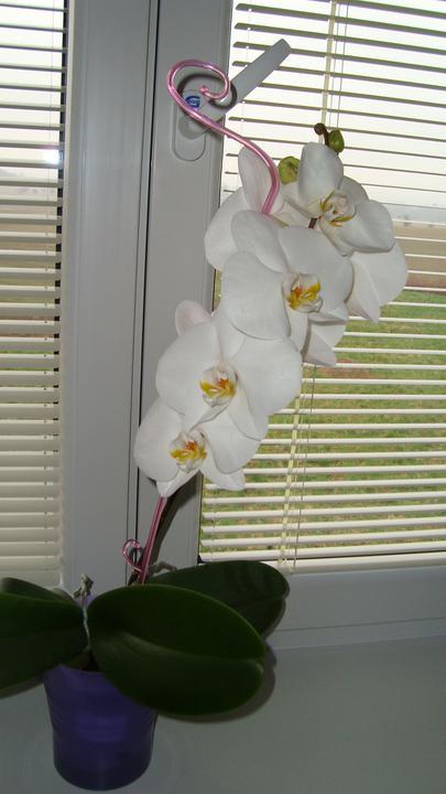 Finále je tu!!! Bydlíme... - V novém domečku mi prvně vykvetla orchidejka:-)