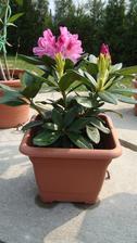 Nový rododendron - zatím v květináči než pro něj vymyslím místo