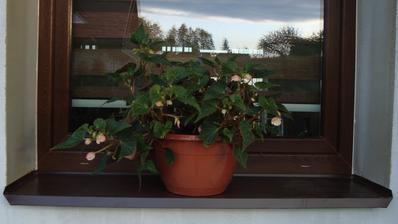 Převislá begonie na okno, kde je celý den stín