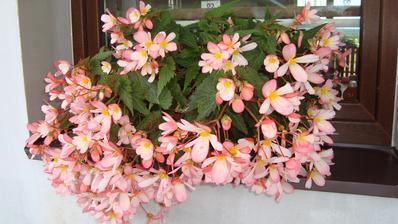 Krásně rozkvetlá begonie