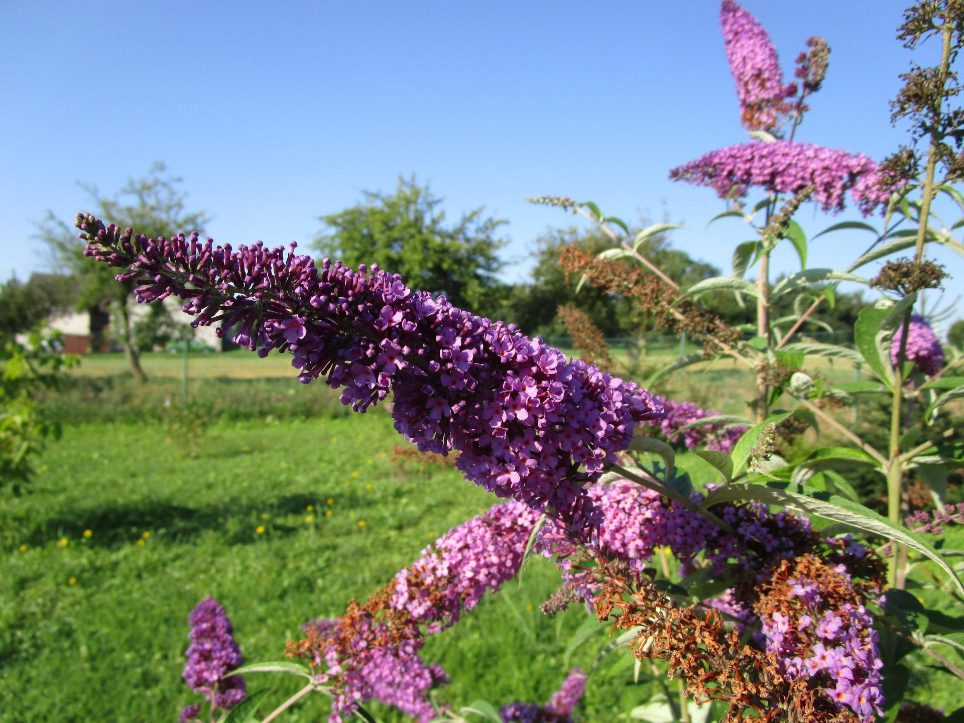 začínáme se zahradou - komule tentokrát fialová