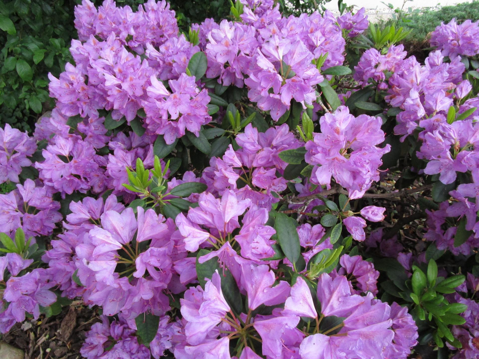 začínáme se zahradou - takhle letos kvetl rododendron