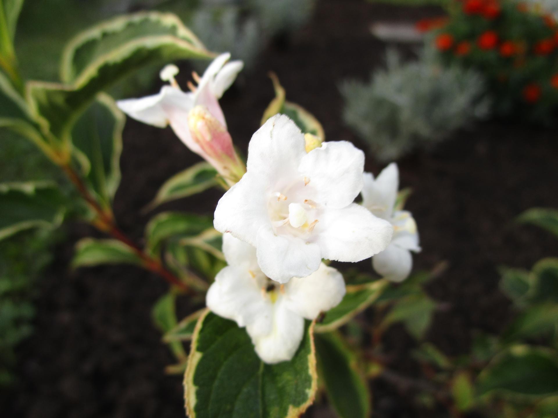 začínáme se zahradou - pozdní květ vajgélie