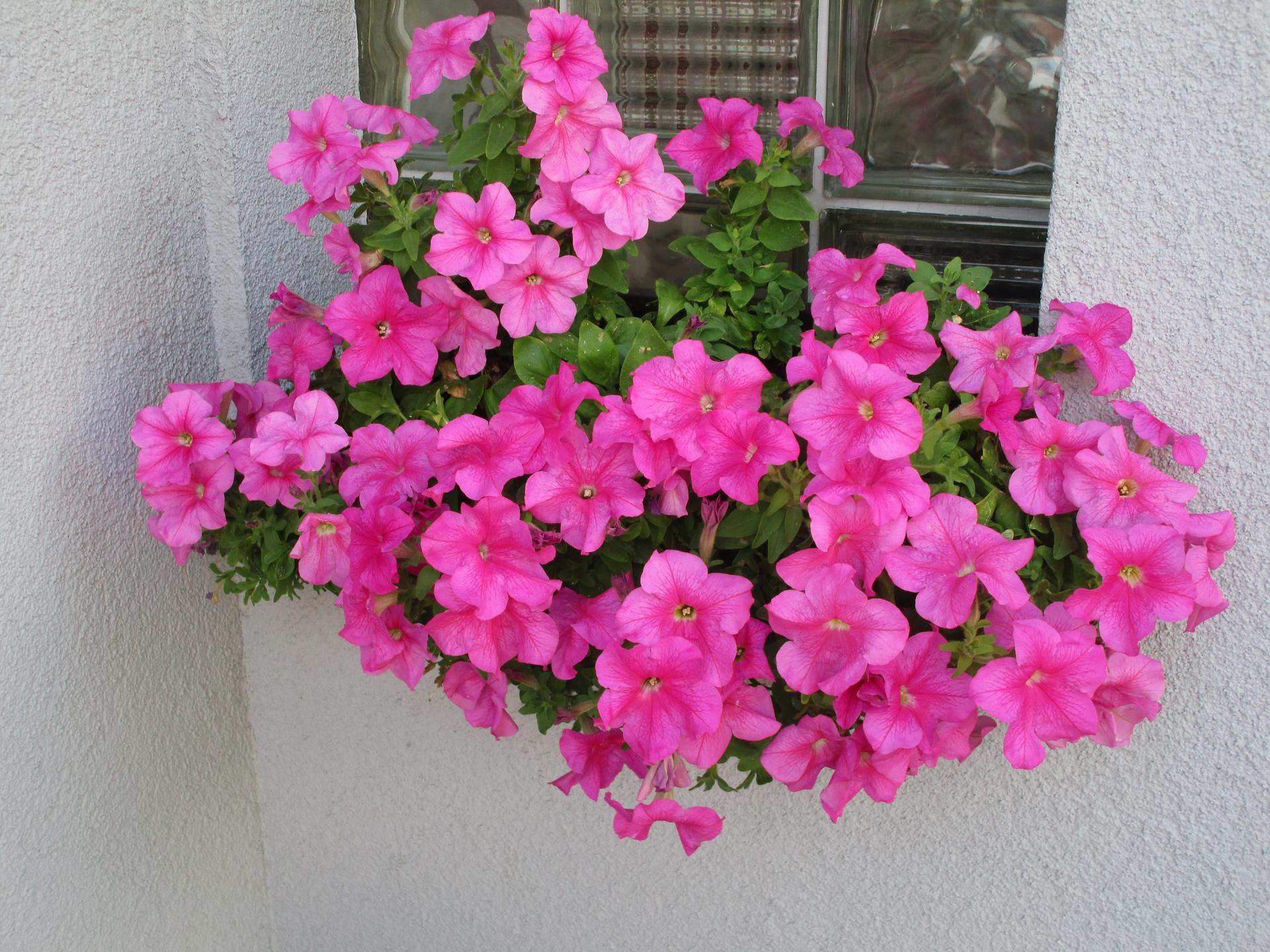 začínáme se zahradou - petunie z kaufu