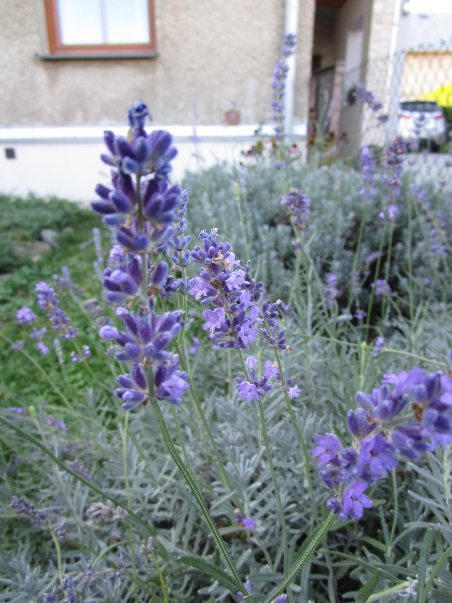 začínáme se zahradou - levandule ještě letos kvete