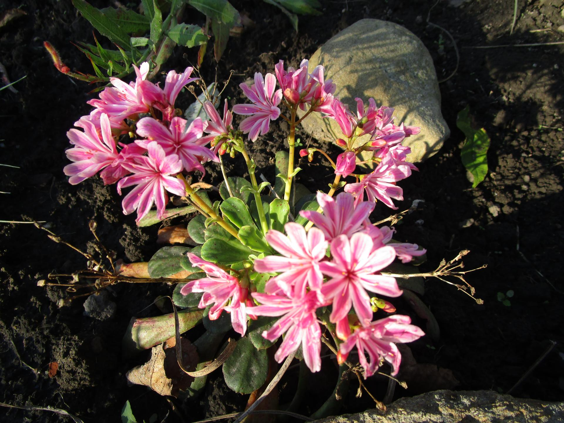 začínáme se zahradou - lewisie letos kvete potřetí
