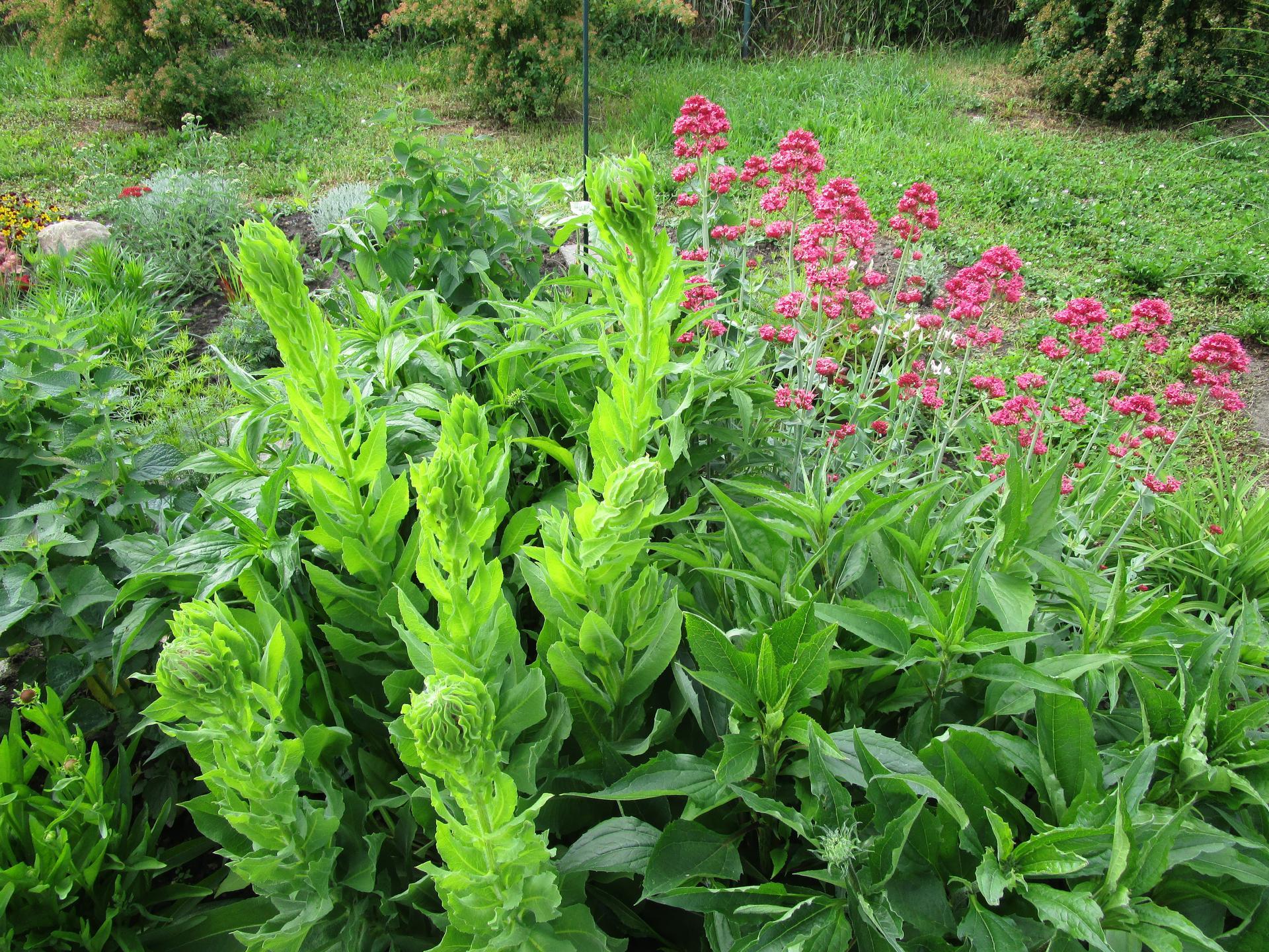 zahrada 2021 - mavuň a překvapení - chrpa žlutokvětá, vypěstovaná ze směsi trvalkových semen
