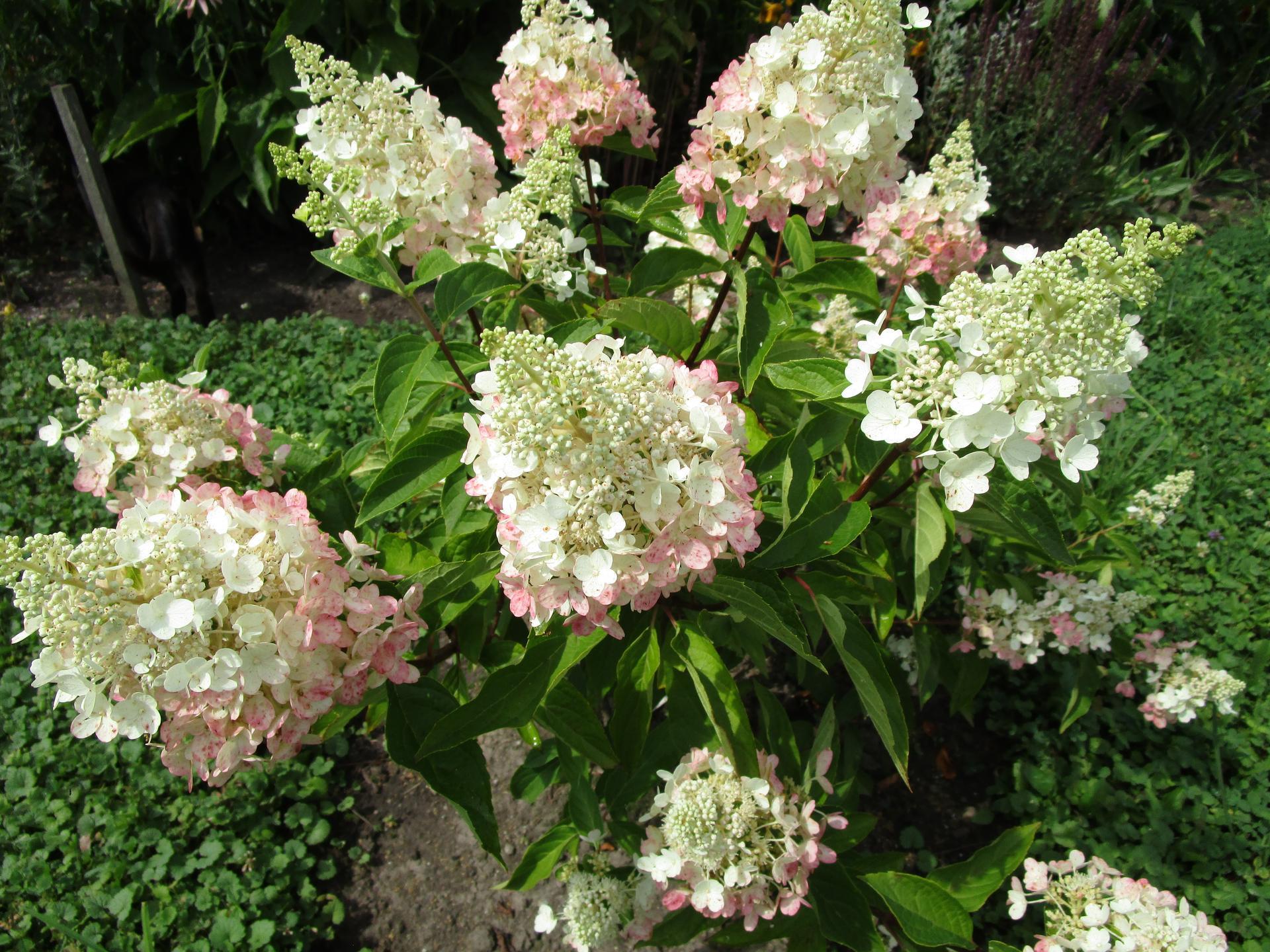zahrada 2021 - hortenzie latnatá