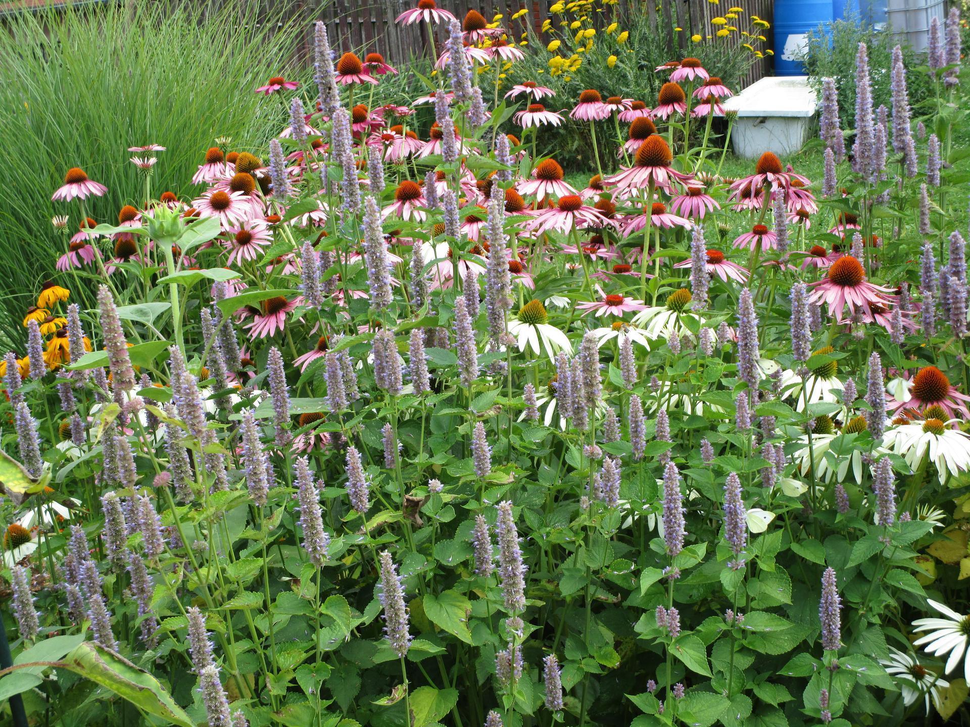 zahrada 2021 - agastache a třapatkovky
