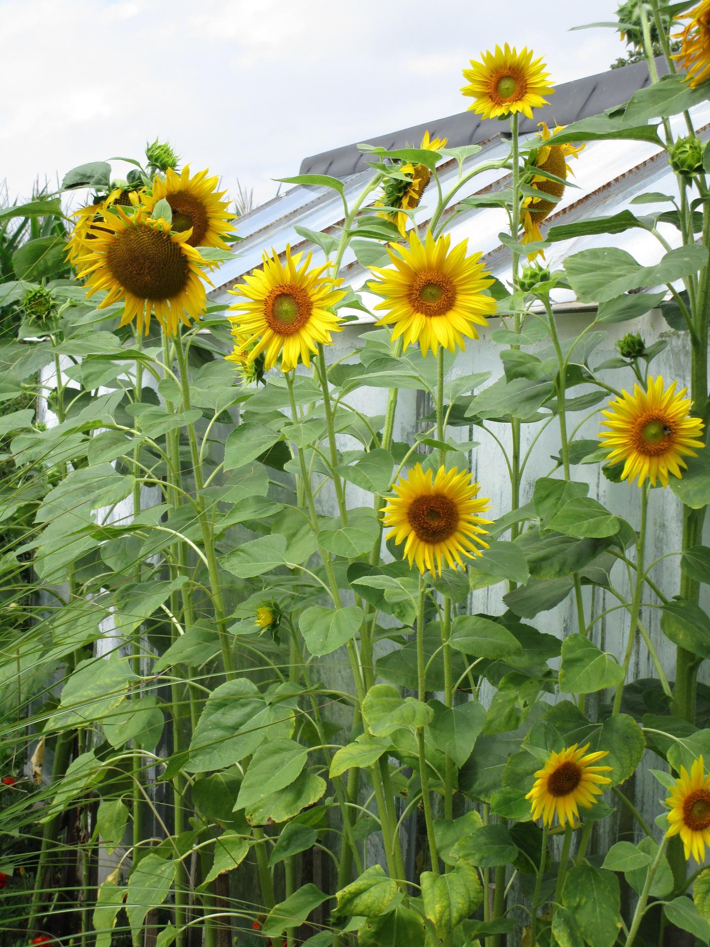 zahrada 2021 - slunečnice vyšší než skleník