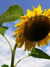 Slunečnice miluji a u nás doma nikdy nebudou chybět! Letos se některé bohužel zlomily.