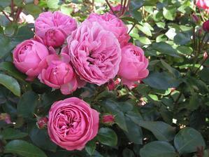 Plnokvětá anglická růže