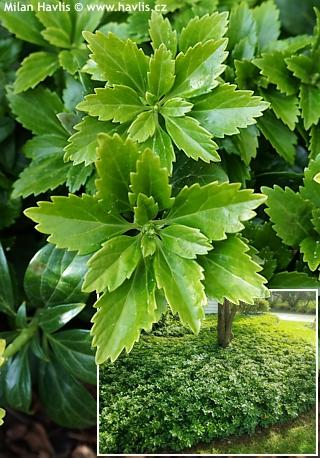 Skalka ve stínu - Pachysandra terminalis - tlustonitník klasnatý Výška: 10 - 20 cm Květ: bílo - zelený, IV. - VI. Vděčná půdopokryvná a stálezelená...
