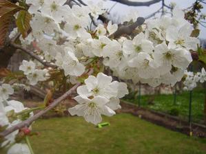 Třešínka krásně kvetla