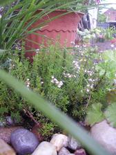 Kvete tymián