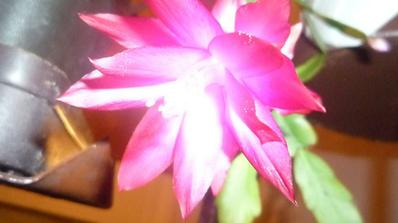 Vianočný kaktus....