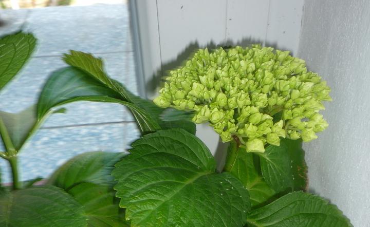 Moje kvety a rastlinky, ktoré pestujem - Mala by to byť modrá hortenzia...