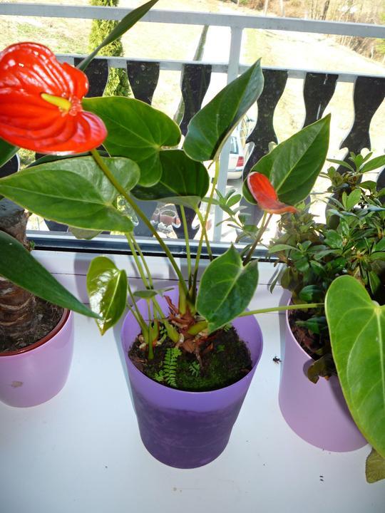 Moje kvety a rastlinky, ktoré pestujem - Anturia