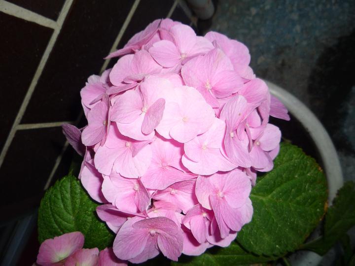 Moje kvety a rastlinky, ktoré pestujem - A je ružová :-D