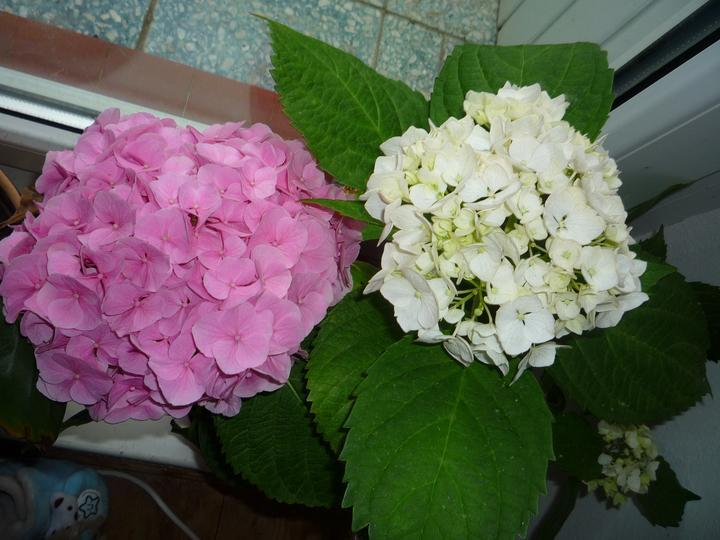 Moje kvety a rastlinky, ktoré pestujem - Už aj biela mi kvitne...