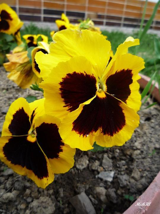 Moje kvety a rastlinky, ktoré pestujem - Sirôtka...