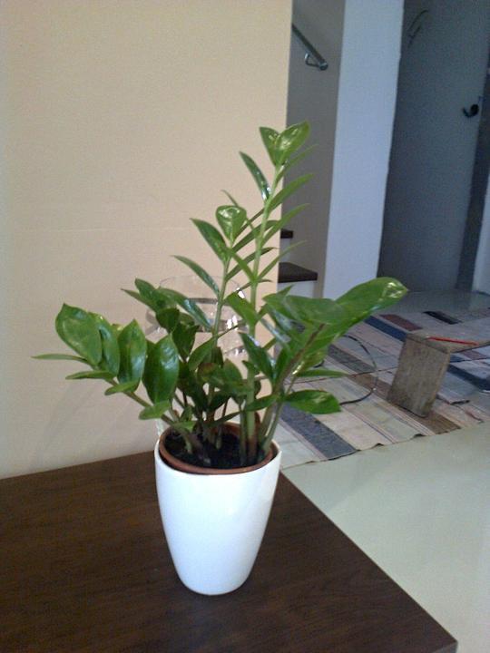 Moje kvety a rastlinky, ktoré pestujem - Zamiokulkas