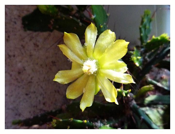 Moje kvety a rastlinky, ktoré pestujem - takto zakvitol kaktus prvý krát :-)