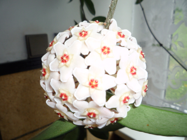 Moje kvety a rastlinky, ktoré pestujem - Voskovka