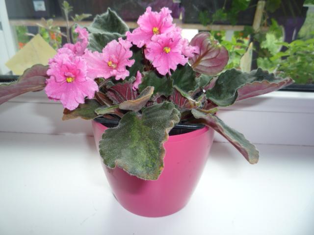 Moje kvety a rastlinky, ktoré pestujem - Obrázok č. 2