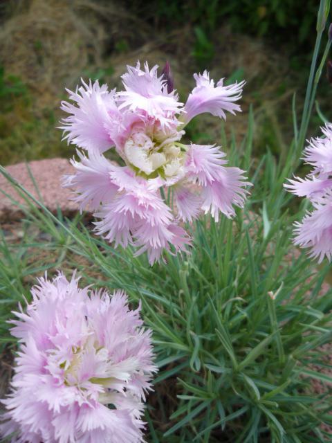 Moje kvety a rastlinky, ktoré pestujem - Obrázok č. 8