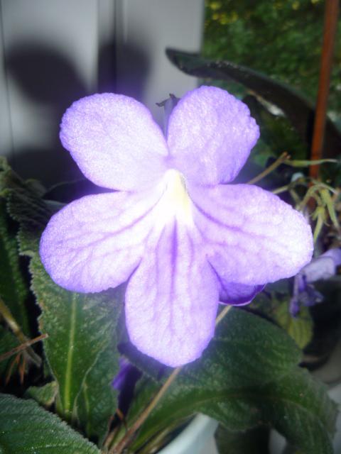 Moje kvety a rastlinky, ktoré pestujem - Obrázok č. 13