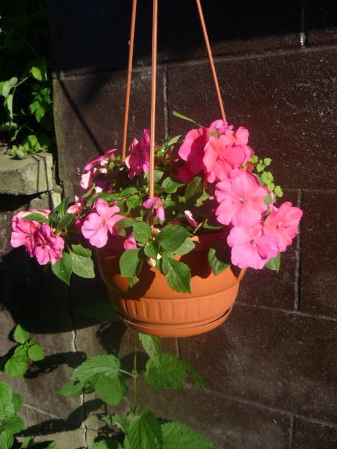 Moje kvety a rastlinky, ktoré pestujem - Obrázok č. 14