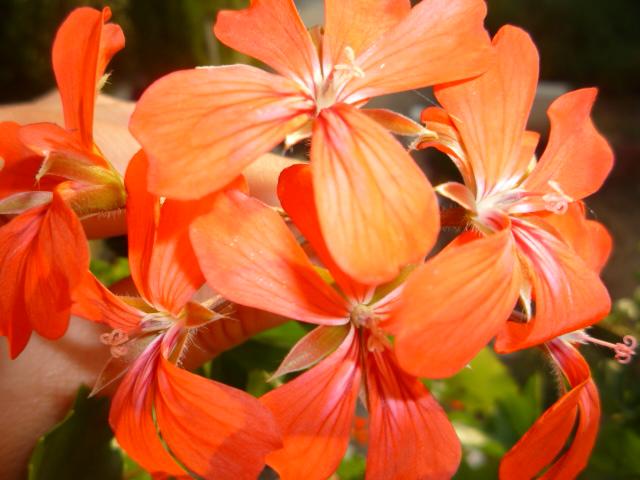 Moje kvety a rastlinky, ktoré pestujem - Obrázok č. 23