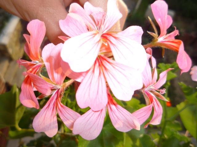 Moje kvety a rastlinky, ktoré pestujem - Obrázok č. 24