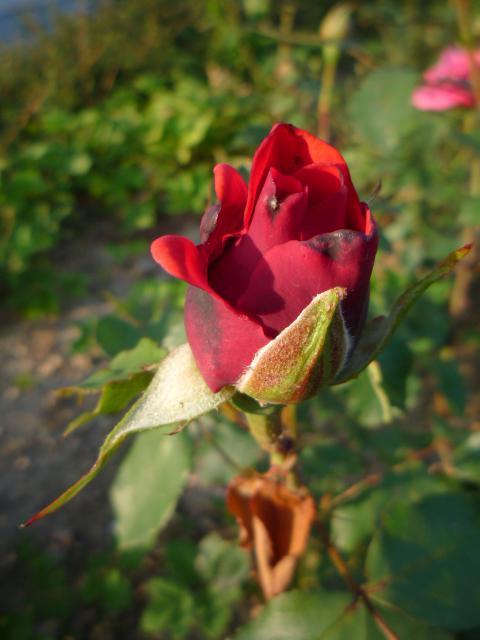 Moje kvety a rastlinky, ktoré pestujem - Krásna ružička :-)