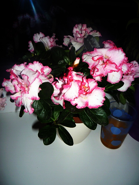 Moje kvety a rastlinky, ktoré pestujem - Azalka