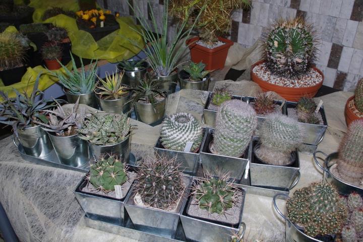 Výstava kaktusov 2013 Piešťany - kaktusíky na predaj (nie tieto konkrertne)