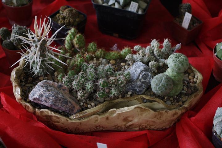 Výstava kaktusov 2013 Piešťany - Obrázok č. 2
