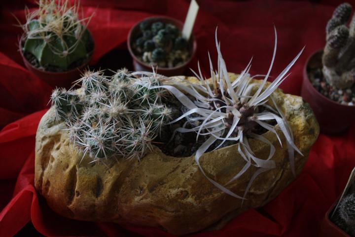 Výstava kaktusov 2013 Piešťany - Obrázok č. 3
