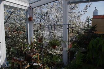 najkrajší pohľad celého roka, kvitnúca čerešňa... pokoj v duši. každý deň si to vychutnávam.