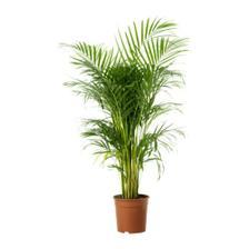 palma areková