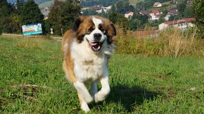 náš strážca 2,5 ročný Moskovský strážny pes Bargo z Hartlovej skály :D