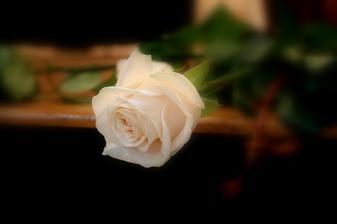Jedna z 50 růží  na chodníček pro nevěstu