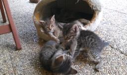 Hľadáte do svojich domácností miláčika? Darujem krásne mačiatka :-) - Obrázok č. 4