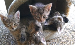 Hľadáte do svojich domácností miláčika? Darujem krásne mačiatka :-) - Obrázok č. 5