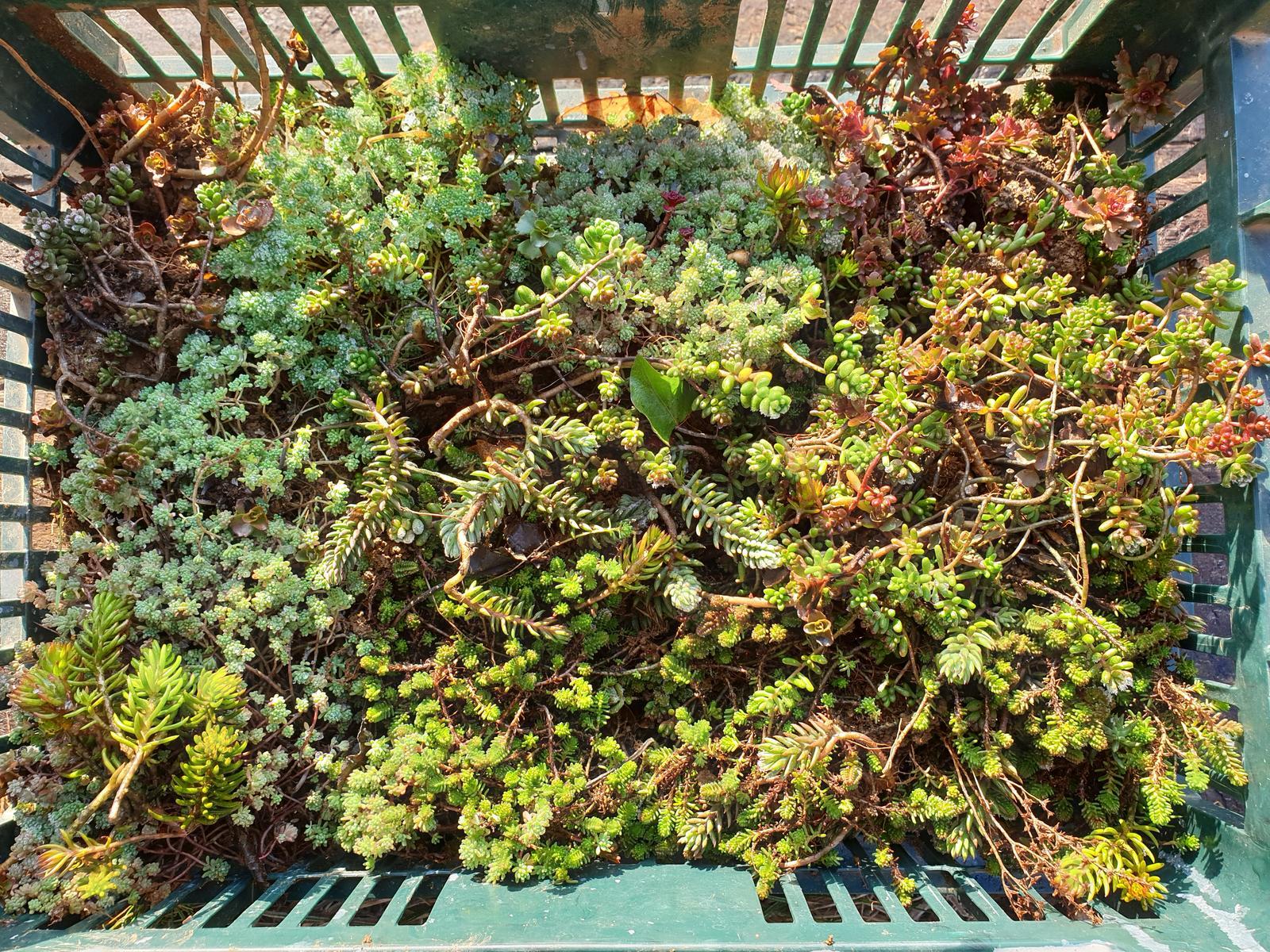 rozchodníky pre zelenú strechu - Obrázok č. 1