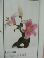 svatební kytka bude z lilií a bílých růží