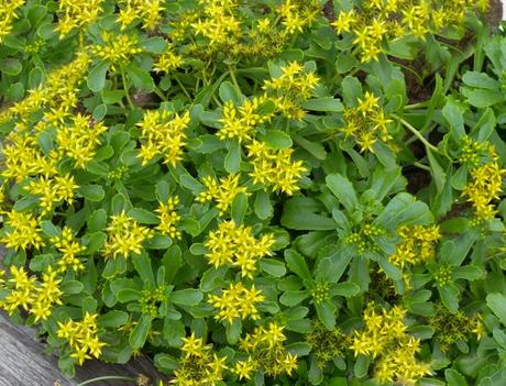 rozchodník kamčatský aureum- zelenožlté listy, žltý kvet - Obrázok č. 1
