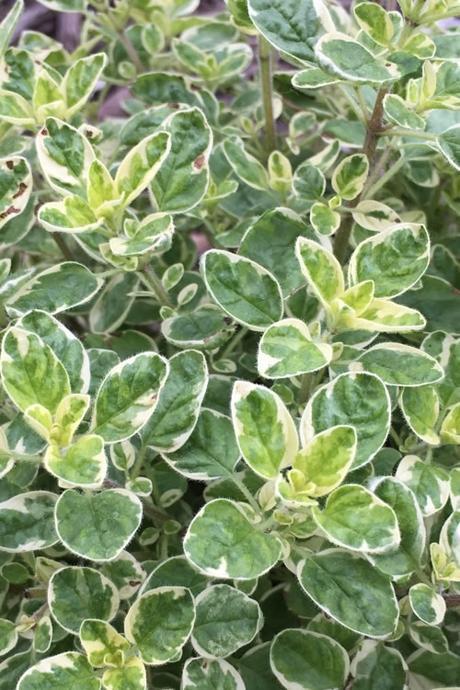 oregáno - variegata - Obrázok č. 1