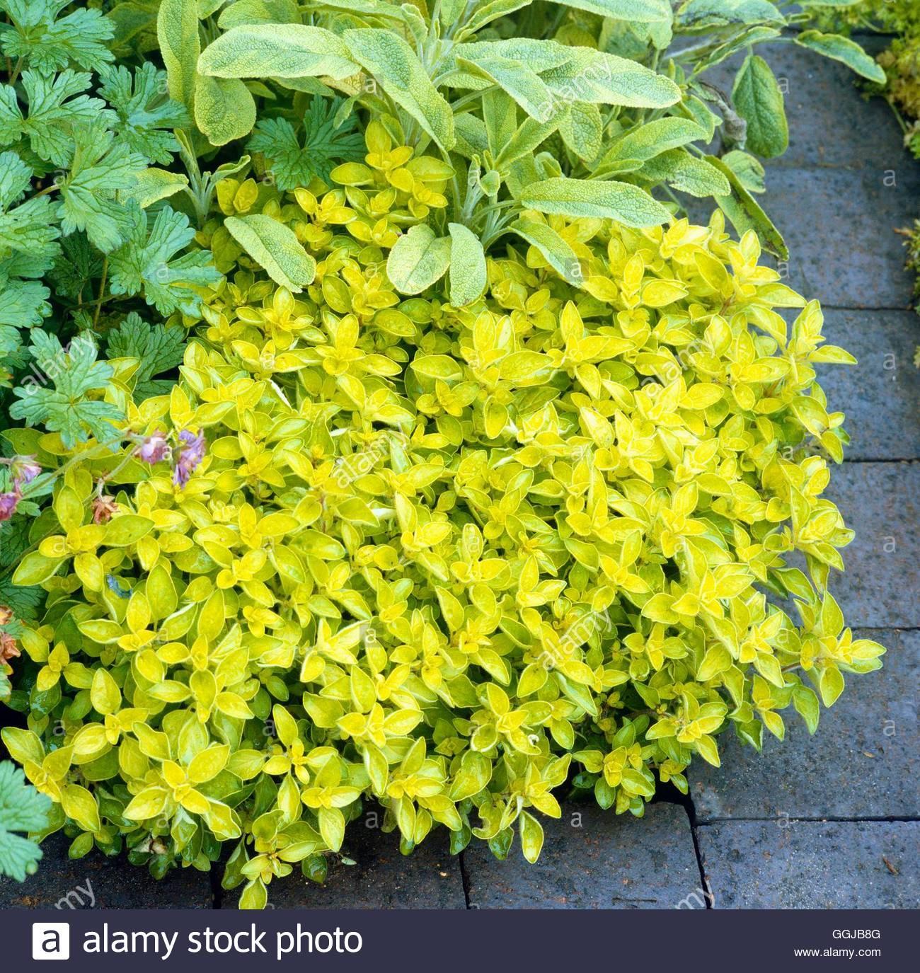 Bylinka - oregáno - aureum, žltozlaté listy, bledo ružové kvety - Obrázok č. 1